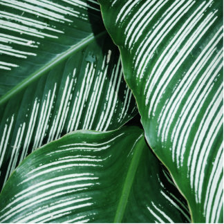 Green Tropical Leaves with White Stripes Closeup Photo Sculpture Badge