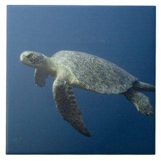 Green Turtle (Chelonia mydas agassisi) off Wolf Tile
