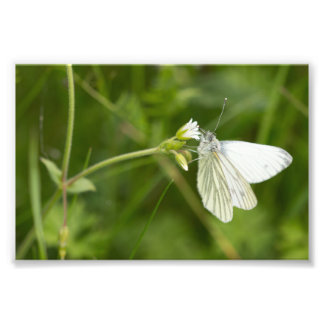 Green-veined White Butterfly Photograph
