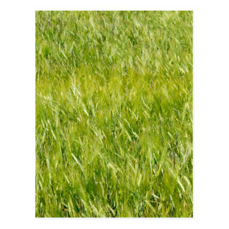 Green Wheat Field Postcard