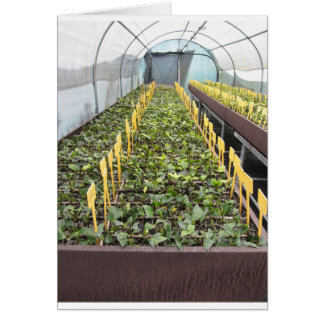 Greenhouse cultivation of Camellia japonica flower Card
