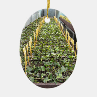 Greenhouse cultivation of Camellia japonica flower Ceramic Ornament