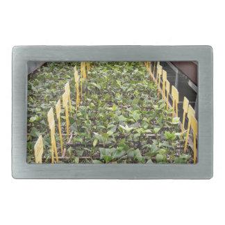 Greenhouse cultivation of Camellia japonica flower Rectangular Belt Buckle