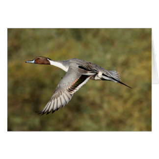 Greeting card - Northern pintail drake 3