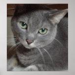 Grey Cat Russian Blue Poster