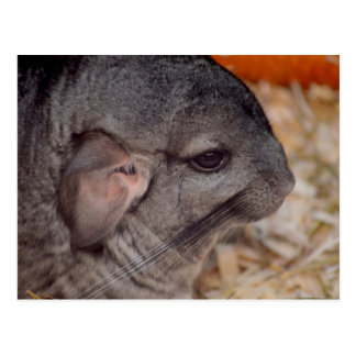 grey chinchilla side head view animal postcard