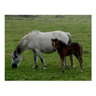 Grey Dartmoor Pony Mare  And Foal Postcard