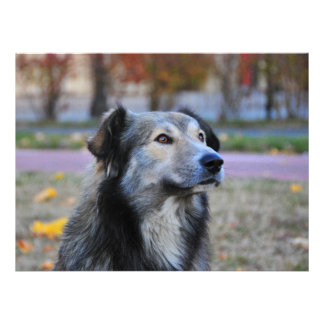 Grey dog announcements