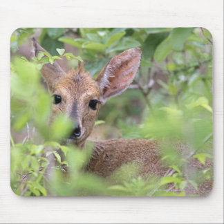 Grey Duiker (Sylvicapra grimmia) hiding in Mouse Pad