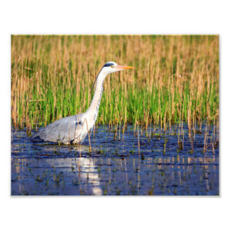 Grey heron, ardea cinerea, in a pond art photo