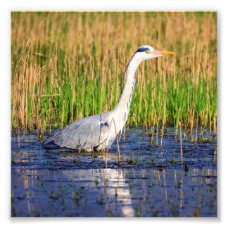 Grey heron, ardea cinerea, in a pond photo print