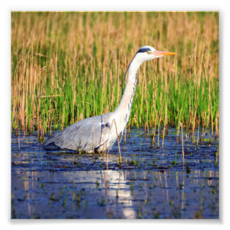 Grey heron, ardea cinerea, in a pond photograph