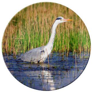 Grey heron, ardea cinerea, in a pond plate