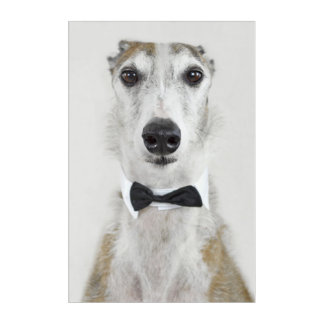 Grey Hound dressed up Acrylic Print