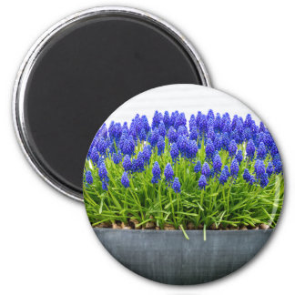 Grey metal flower box with blue grape hyacinths 6 cm round magnet