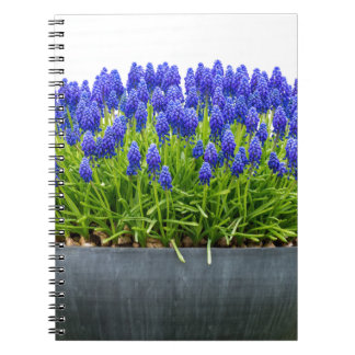 Grey metal flower box with blue grape hyacinths notebooks