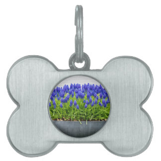 Grey metal flower box with blue grape hyacinths pet name tag