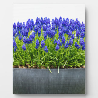 Grey metal flower box with blue grape hyacinths plaque