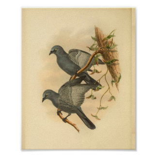 Grey Ramseys Cuckoo Shrike Bird Vintage Print