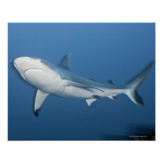 Grey reef shark (Carcharhinus amblyrhynchos) Poster