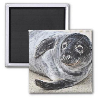 Grey Seal Fridge Magnets