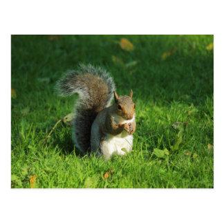 Grey Squirrel, Bute Park, Cardiff Postcard
