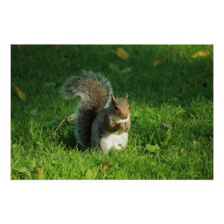 Grey Squirrel, Bute Park, Cardiff Poster