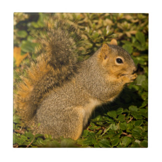 Grey Squirrel, eating, peanut, Crystal Springs 2 Tile