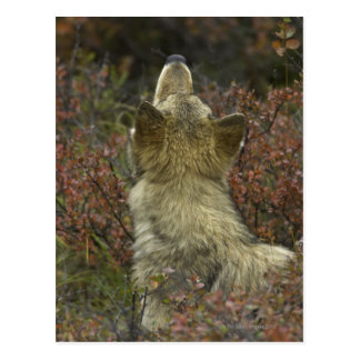 Grey Wolf (Canis lupus) Postcard