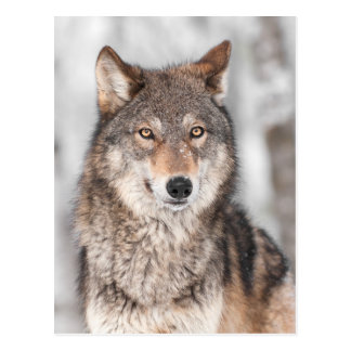 Grey Wolf (Canis lupus) With One Ear Back Postcard