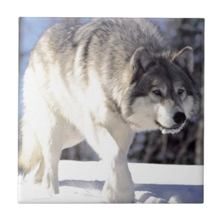 Grey Wolf On The Prowl Small Square Tile