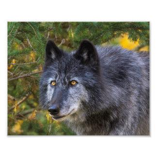 Grey Wolf Photo Print