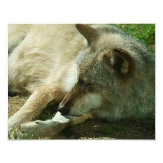 Grey Wolf Print