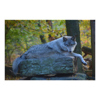 Grey Wolf resting in the Fall. Photo