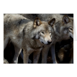 Grey wolf standing card