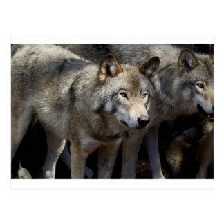Grey wolf standing postcard