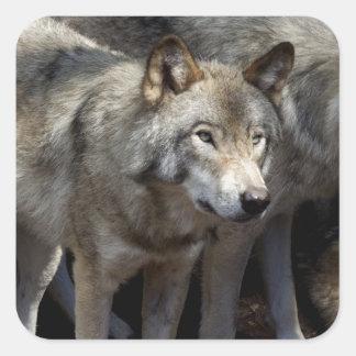 Grey wolf standing square sticker