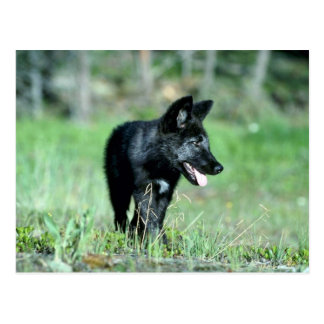Grey Wolf-summer-(black-phase) cub Postcard