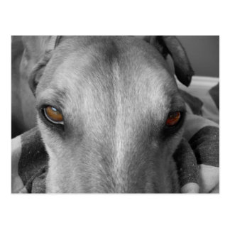 Greyhound Eyes Postcard