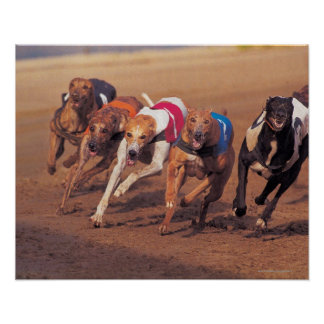 Greyhounds racing on track poster