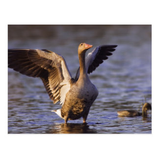 Greylag Goose, Anser anser, adult with young, Postcard