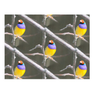 Grid of Gouldian Postcard