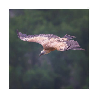Griffon vulture, France Canvas Print