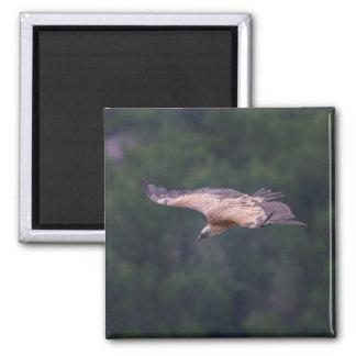 Griffon vulture, France Magnet