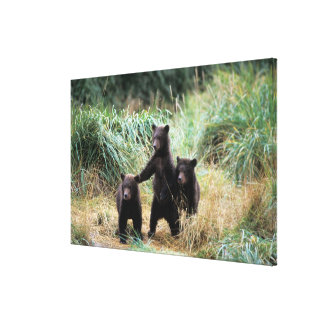 Grizzly bear, brown bear,  cubs in tall grasses, gallery wrapped canvas