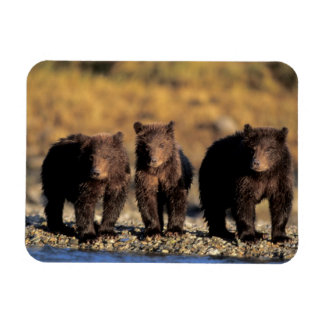 Grizzly bear, brown bear, cubs, Katmai National Magnet
