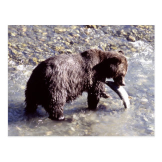Grizzly bear catching a fish on Vancouver Island Postcard