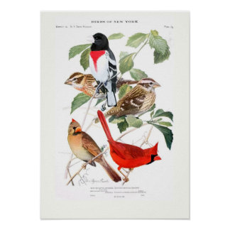 Grosbeak and Cardinal Poster