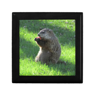 Groundhog eating gift box