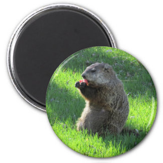 Groundhog eating magnet